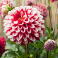 Fire & Ice - Ball Dahlia