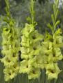 Greenstar - Gladiolus