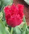 Versari - Fringed Tulip