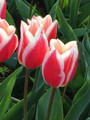 Candy Apple Delight-Triumph Tulip