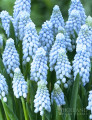 Baby's Breath - Muscari