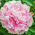 Lady Alexander Duff - Peony Roses