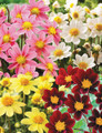 Mixed Colours - Miniature Dahlia