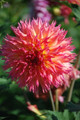 Emily Jane - Cactus Dahlia