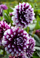 Purple Delight - Ball Dahlia