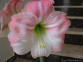 Apple Blossom - Hippeastrum