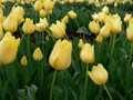 Bulk Tulips - Friendship