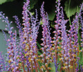 Lachenalia - Mixed Colours