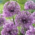 Allium - 'Snowy' Rosenbachianun