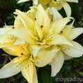 Mountain Joy - Dwarf/Potting  Asiatic Double Lilium
