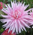 Miss Rose Fletcher - Cactus Dahlia