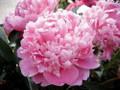 Mons Jules Elie- Peony Roses