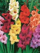 Mixed Gladiolus
