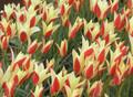 Mixed Colours - Species Tulip