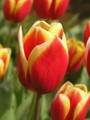 Residence-Triumph Tulip