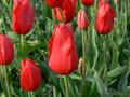 Bulk Tulips - Cortina