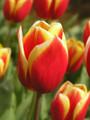 Bulk Tulips - Residence Triumph Tulip