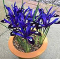 Blue Note Species Iris (Dwarf Iris)