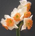 Eclat - Single Daffodil