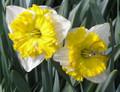 Gabriel Kleiberg - Single Daffodil