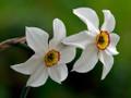 Peoticus - Single Daffodil