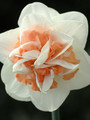 Pink Paradise - Double Daffodil