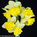 Lemon Marvel - Miniature Daffodils