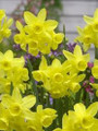 Sunlight Sensation - Happy Daffodil