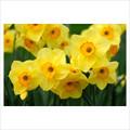 Highfield Beauty - Multi-Headed Daffodil