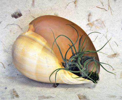 82510-melon-shell-w-tillansia-5-72-500.jpg