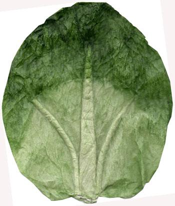 cabbage-leaf-cutot-rotated-72-350.jpg