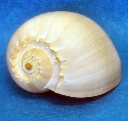 melon-shell-10-inch-1-72-500.jpg