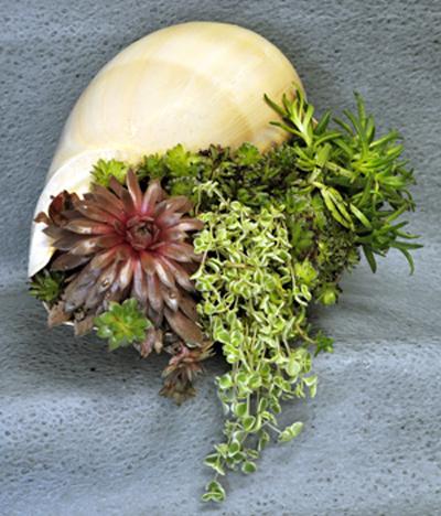 melon-shell-succulents-end-view-2-72-400.jpg