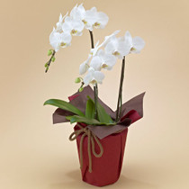 2 Stems White Phalaenopsis Orchid Plant