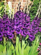 Purple Flora Gladioulus 25 ea.