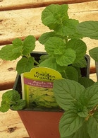 Apple Mint Plant