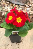 Primrose Plant