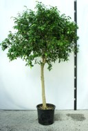 Ficus Benjamin Tree (Houseplant/Indoor)