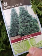 Green Giant Western Arborvitae