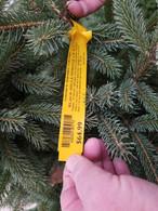 Black Hills Spruce 3'-4'
