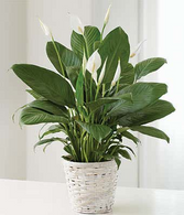 Spathiphyllum Peace Lily in Basket