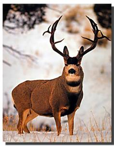 Mule Deer Buck Poster