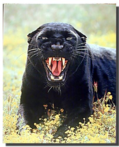 Black Jaguar Growl: Snarling Panther Gallery