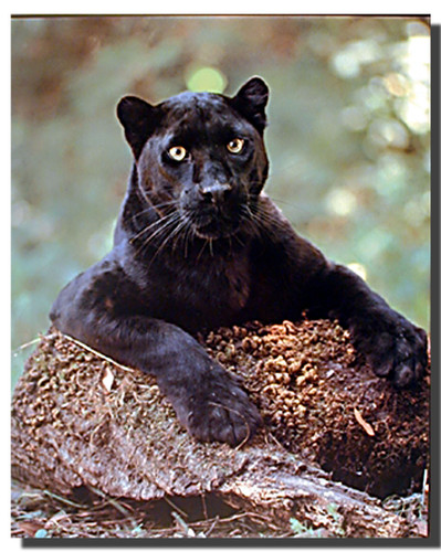 High Country Truck >> Black Panther Poster-Laying On The Rock | Animal Posters