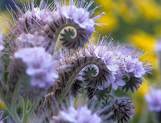 Lacy Phacelia Best Find Og Seattle Seed Company