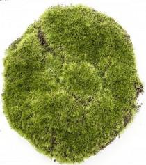 Moss Bun 20cm