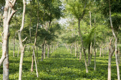 Teatulia Organic Garden