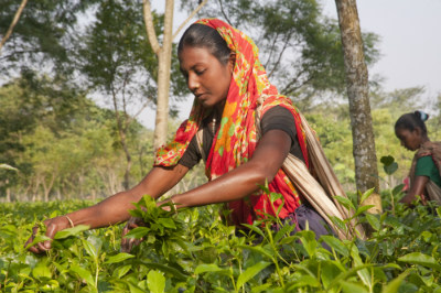 Women of the tea garden
