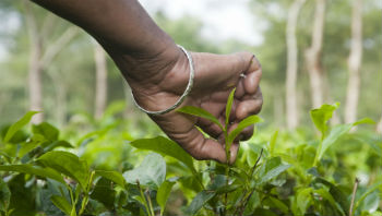 Organic Tea Garden Plucking