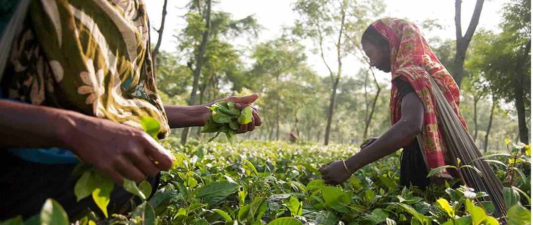 Single Garden Direct - Teatulia Organic Teas